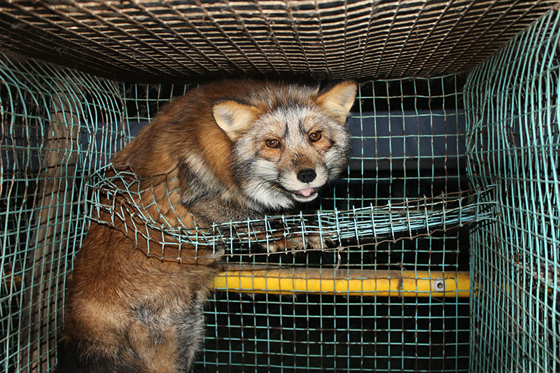 Oikeutta_eläimille_-_Fur_farming_in_Finland_07_manja