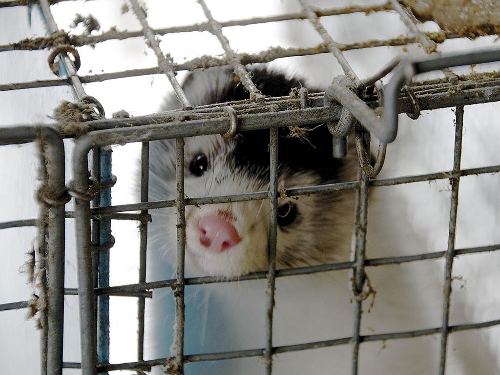 fur-farm-mink-loomus